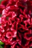 Flor vermelha do enrolamento Foto de Stock Royalty Free