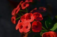 Flor vermelha do eufórbio Fotos de Stock