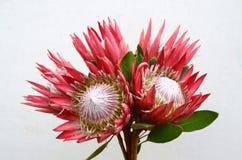 Flor vermelha do gelo do rosa do Protea no fundo branco foto de stock royalty free