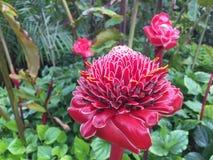 Flor vermelha do gengibre da tocha fotografia de stock royalty free