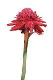 Flor vermelha do gengibre da tocha Fotografia de Stock