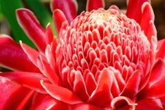 Flor vermelha do gengibre da tocha da flor Foto de Stock Royalty Free