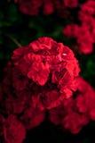 Flor vermelha do gerânio foto de stock royalty free