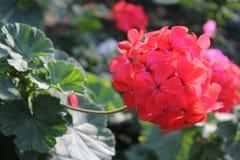 Flor vermelha do gerânio Fotografia de Stock Royalty Free