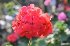 Flor vermelha do gerânio Imagens de Stock Royalty Free