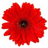 Flor vermelha do gerber isolada no branco Fotografia de Stock Royalty Free
