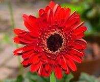 Flor vermelha do gerbera Foto de Stock