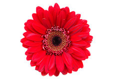 Flor vermelha do gerbera Foto de Stock Royalty Free