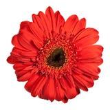 Flor vermelha do gerbera foto de stock royalty free