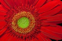 Flor vermelha do gerbera Fotos de Stock Royalty Free