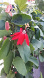 Flor vermelha do granadilho Fotografia de Stock Royalty Free