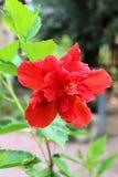 Flor vermelha do hibiscus Fotos de Stock Royalty Free
