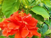 Flor vermelha do hibiscus do jardim Imagens de Stock Royalty Free