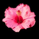 Flor vermelha do hibiscus em um fundo preto Imagem de Stock Royalty Free