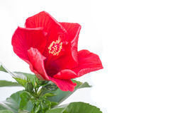 Flor vermelha do hibiscus isolada no branco Fotografia de Stock Royalty Free