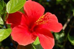 Flor vermelha do hibiscus Símbolo nacional havaiano Florescência da planta do verão Imagem de Stock Royalty Free