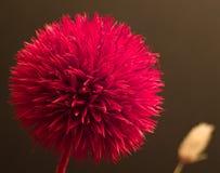 Flor vermelha do ikebana Foto de Stock