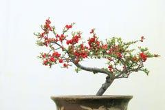 Flor vermelha do mume fotos de stock royalty free