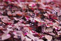 Flor vermelha do perilla Foto de Stock Royalty Free
