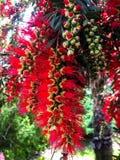 Flor vermelha do protea imagens de stock royalty free