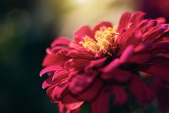 Flor vermelha do Zinnia do borrão abstrato que floresce no fundo obscuro no crepúsculo com espaço da cópia na esquerda foto de stock royalty free