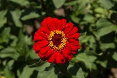 Flor vermelha do zinnia do vermelho de Benarys Moulin Foto de Stock