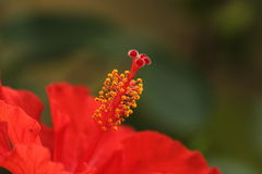 Flor vermelha e amarela Imagens de Stock