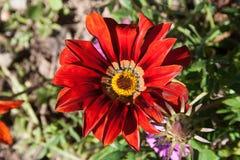 Flor vermelha e amarela Foto de Stock Royalty Free