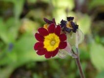 Flor vermelha e amarela imagem de stock royalty free