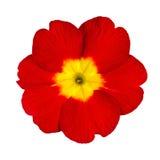 Flor vermelha e amarela do Primrose isolada Imagens de Stock Royalty Free
