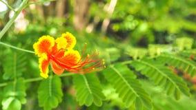Flor vermelha e amarela do pulcherrima do Caesalpinia única na árvore Foto de Stock Royalty Free