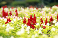 Flor vermelha e branca Fotografia de Stock Royalty Free