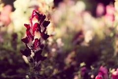 Flor vermelha e branca Imagem de Stock