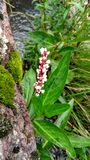 Flor vermelha e branca Foto de Stock