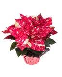 Flor vermelha e branca da poinsétia no branco Imagens de Stock
