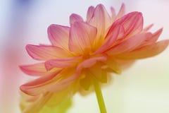 Flor vermelha e branca detalhada da dália Feche acima da imagem fotos de stock royalty free