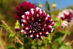 Flor vermelha e branca na flor Fotos de Stock Royalty Free