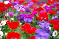 flor vermelha e flor roxa Imagens de Stock Royalty Free