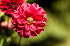 A flor vermelha e uma abelha imagens de stock