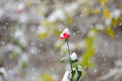 Flor vermelha em nevar Fotografia de Stock Royalty Free