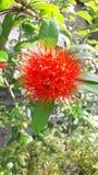 Flor vermelha em Sri Lanka imagens de stock royalty free