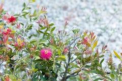 Flor vermelha em um arbusto com as folhas do verde e do amarelo imagem de stock royalty free