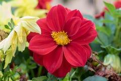 Flor vermelha em um jardim foto de stock