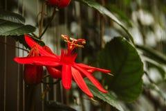Flor vermelha exótica Fotos de Stock