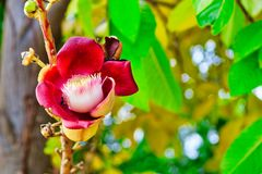 Flor vermelha exótica de uma planta rara foto de stock