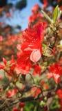 A flor vermelha floresce yang que ming o parque Formosa de Shan foto de stock