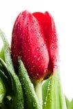 A flor vermelha fresca da tulipa na água deixa cair o branco isolado Fotografia de Stock Royalty Free