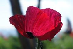 Flor vermelha grande Fotografia de Stock