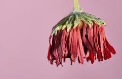 Flor vermelha murchada Fotos de Stock