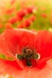 Flor vermelha na vista macro com pilão e pólen Foto de Stock Royalty Free